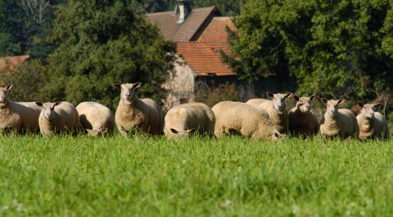moutons_Bienvenue à la ferme