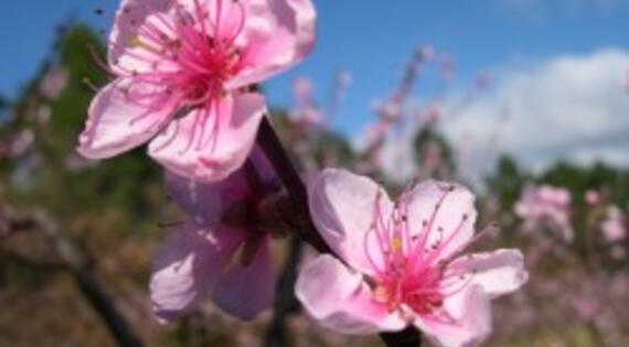 Fleurs de pecher