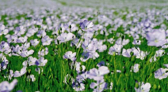 fleurs_de_lin_pays_plateau_de_caux_maritime_large