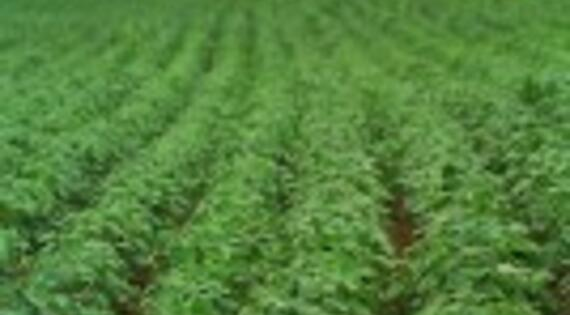 La culture du soja