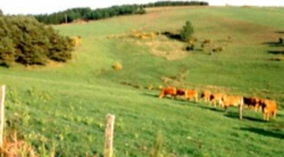 Vaches_pres_Bienvenue à la ferme Limousin