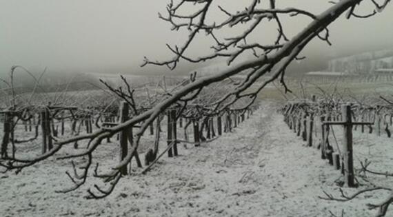 Kiwis sous la neige