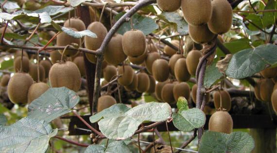 Kiwi fruit de saison Bienvenue à la ferme @A.Delattre