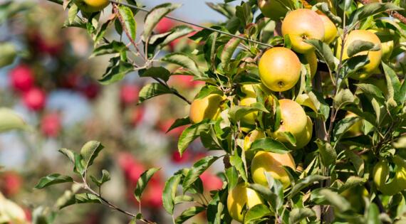 Pomme fruit de saison Bienvenue à la ferme