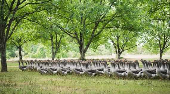élevage d'oies dordogne périgord