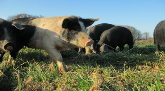 Pas de confinement pour nos cochons !