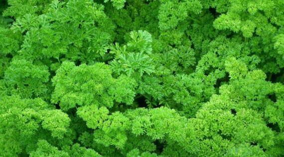 Persil aromate produit de saison automne été printemps