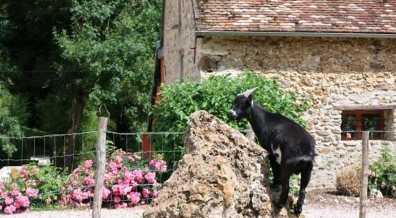 Elevage de chèvres en Champagne