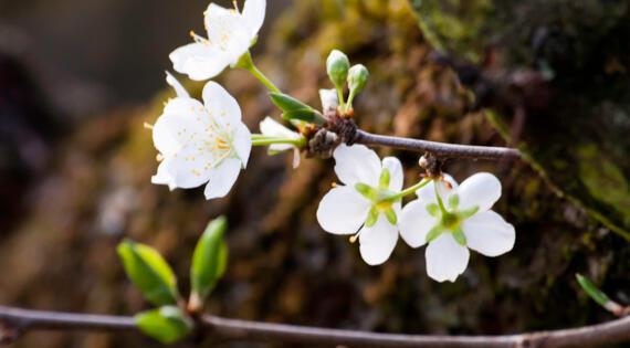 Fleur de Prunier Crédit photo Assos Prune de Brignoles