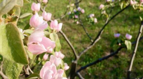 Coing de Cotignac en fleurs - Crédit photo Comité coing de Cotignac