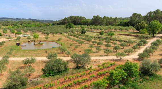 Huile d'olives, Oliveraie des Aumèdes, Crédit Photo H.Fabre