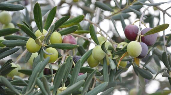 Huile d'olives, Crédit Photo Anne Valdambrini