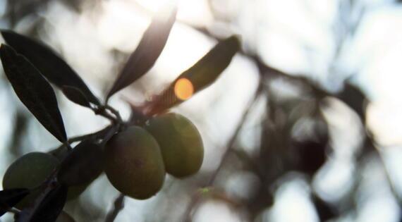 Huile d'olives, L'olivigne, Crédit Photo FranKc Orsoni