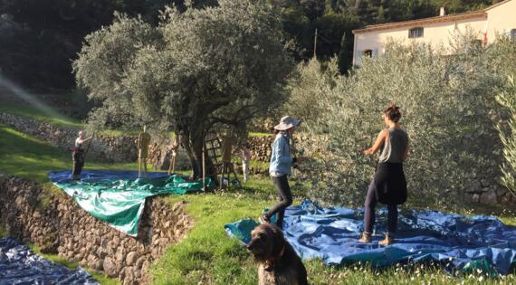 Huile d'olives, Crédit photo Olives en Provence