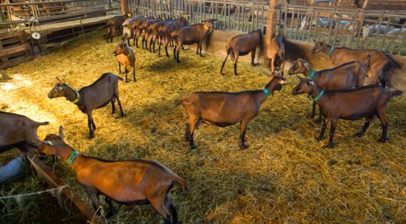 Chèvre, Crédit Photo Moirenc Camille, Dracénie Provence Verdon Tourisme