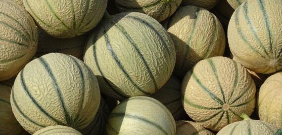 Melon produit de saison fruit été BIenvenue à la ferme