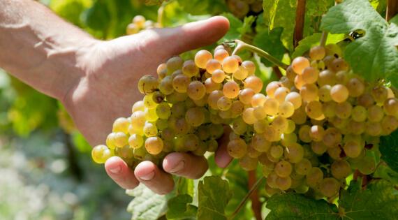 Raisin vin produit de saison fruit Bienvenue à la ferme