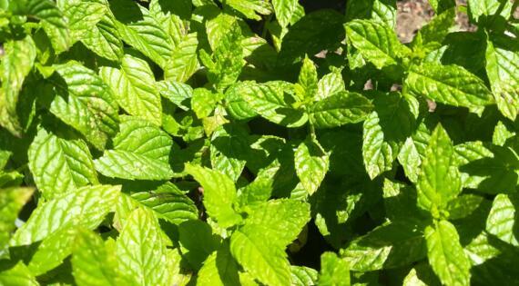 Menthe aromates produit de saison BIenvenue à la ferme