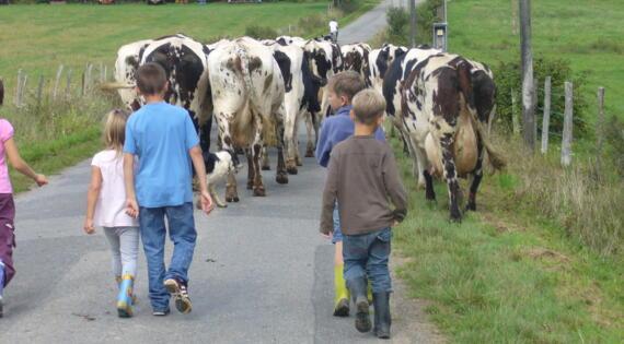 rentrer les vaches à la ferme
