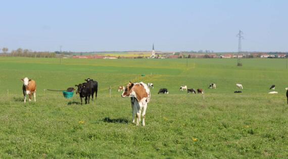 Les vaches de Nicolas PIERSON de la ferme du Sugnon