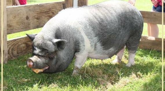 le cochon du ménil St michel