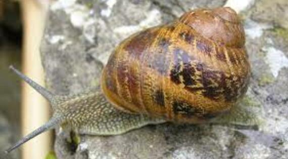 Cap Escargot