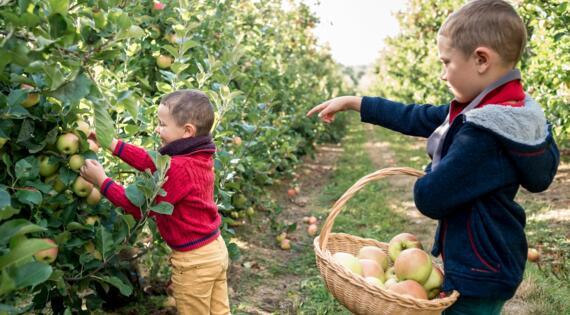 Cueillette de pommes MUIZON