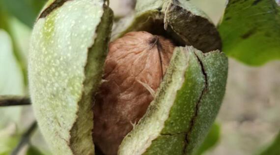 Noix produit de saison automne fruit