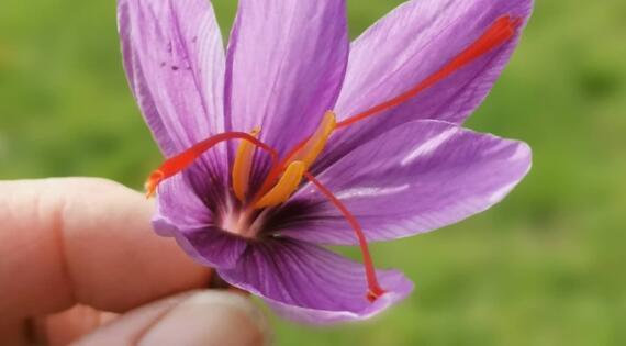 Safranière en fleur