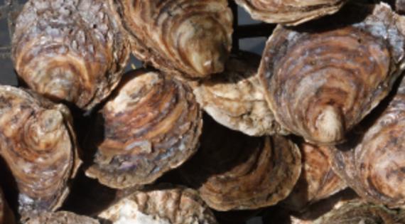 Nos huîtres