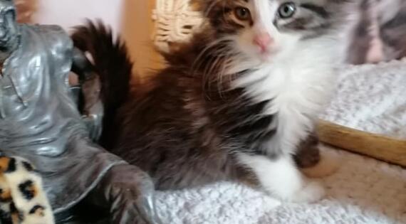 chat norvégien ferme groning