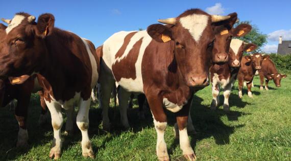 Rouge des Prés terroir Pays-de-la-Loire Bienvenue à la ferme