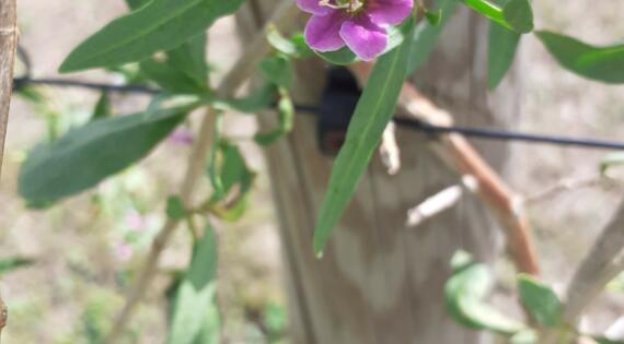 fleur de lycium barbarum