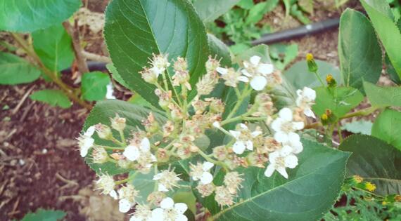 fleurs d'aronia