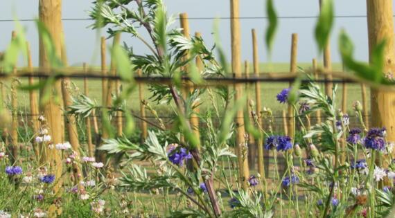 les allées fleuries - bleuet
