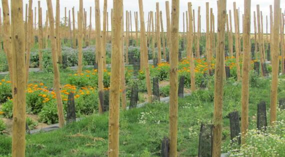 les allées fleuries de la plantation de Goji