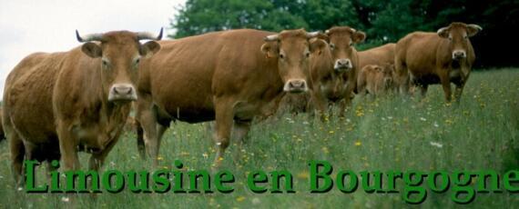 Elevage de vaches de race Limousine