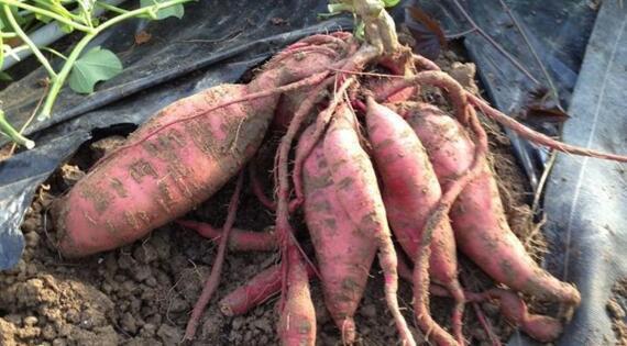 Patates douces fraîchement récoltées