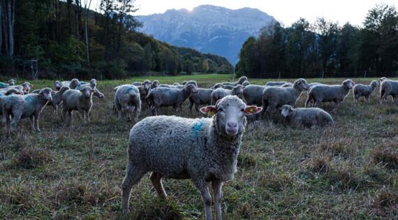 Troupeau de brebis en liberté à la ferme Les CLarines