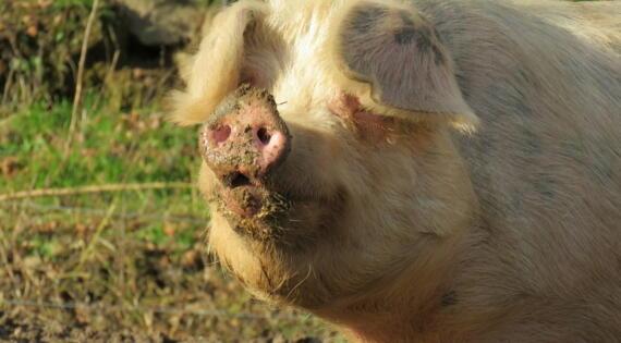 cochon de la ferme du boyon pranles