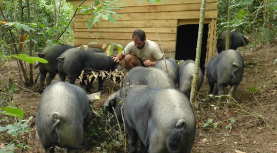 Le porc gascon - terroir Occitanie - Bienvenue à la ferme