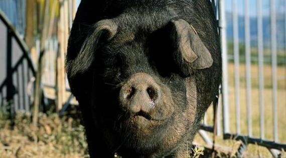 porc gascon de la ferme du plateau des soies - Le Pouzin - Ardèche
