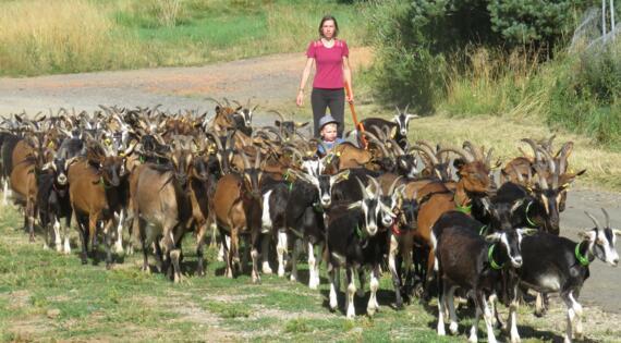 Ferme de Montmoulard Coucouron Ardèche Rentrée des chèvres un soir d'été