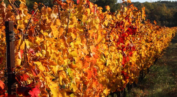 Vignes automne