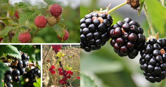 fruits rouges des producteurs d'île de france