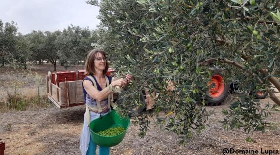Récolte de la Lucques du Languedoc