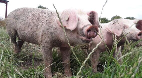 porc plein air à la ferme de la Puilliere